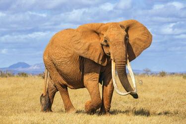 KEN9908 Kenya, Taita-Taveta County, Tsavo East National Park. A female African elephant with fine tusks.