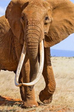 KEN9909 Kenya, Taita-Taveta County, Tsavo East National Park. A female African elephant with fine tusks.