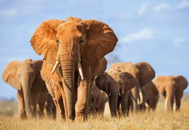 KEN9910 Kenya, Taita-Taveta County, Tsavo East National Park. A herd of elephants.