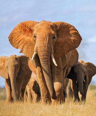 KEN9911 Kenya, Taita-Taveta County, Tsavo East National Park. A herd of elephants.