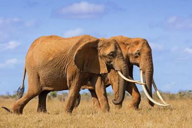 KEN9914 Kenya, Taita-Taveta County, Tsavo East National Park. Two fine African elephants cross dry savannah country.