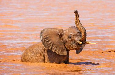 KEN9920 Kenya, Taita-Taveta County, Tsavo East National Park. A young African elephant enjoys bathing at a waterhole in dry savannah country.