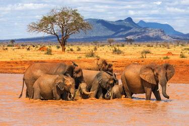 KEN9921 Kenya, Taita-Taveta County, Tsavo East National Park. African elephants enjoy bathing at a waterhole in dry savannah country.