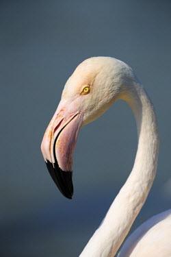 NIS1810 Greater Flamingo (Phoenicopterus roseus) close up, France, Bouches-du-Rhone, Camargue