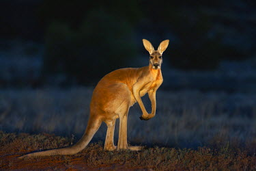 NIS25913 Red Kangaroo male (Macropus rufus)  posing in warm light, Australia, New South Wales, Sturt Stony Desert