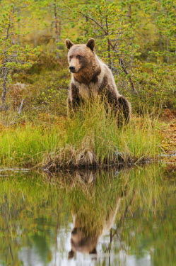 NIS56578 Brown bear (Ursus arctos) reflecting in a wetland in the taiga forest, Finland.