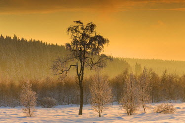 NIS59639 Birch trees (Betula sp) in snowy landscape at sunset, Belgium, Luik, High Fens