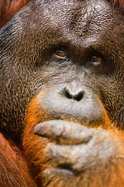 NIS37125 A close-up of a dominant male orangutan ( Pongo pygmaeus ) face with large cheek flaps, Borneo, Indonesia, Indonesia, Borneo