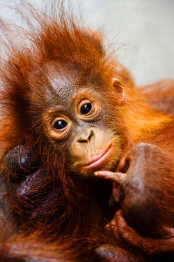 An infant orangutan ( Pongo pygmaeus ) close-up as he lays in his mother's large hand, Borneo, Indonesia, Indonesia, Borneo