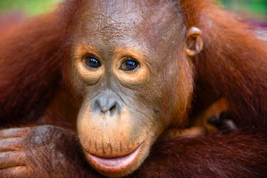 NIS37153 A close-up portrait of a juvenile Orangutan (Pongo pygmaeus), Indonesia, Borneo