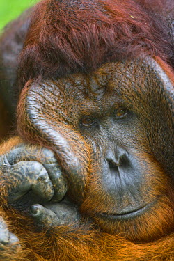 NIS37158 A portrait of a dominant male Orangutan (Pongo pygmaeus), Indonesia, Borneo