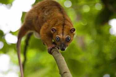NIS52441 A Sulawesi dwarf cuscus (Strigocuscus celebensis) easily walks straight down a  tree trunk toward the ground, Sulawesi, Indonesia, Indonesia, Sulawesi