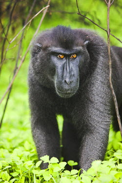 NIS52477 Celebes Crested Macaque (Macaca nigra) standing in unidentified vegetation, Indonesia, Sulawesi
