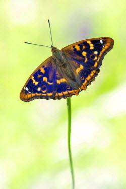 NIS55916 Lesser Purple Emperor (Apatura ilia) butterfly on a flower, Germany, Hessen