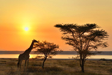 NIS18510 Giraffe eating an Acacia with sunset backlight, Tanzania, Serengeti National Park, Grumeti