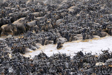 NIS18521 Herd of Wildebeest crossing the Mara River, Tanzania, Serengeti National Park, Mara river