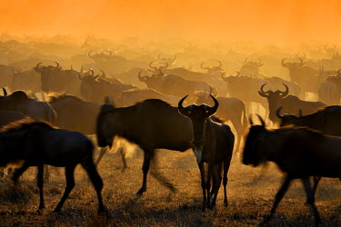 NIS18527 Blue Wildebeest (Connochaetes taurinus) herd migrating, Tanzania, Serengeti National Park