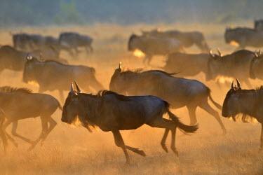 NIS18675 Blue Wildebeest (Connochaetes taurinus) herd migrating, Tanzania, Serengeti National Park