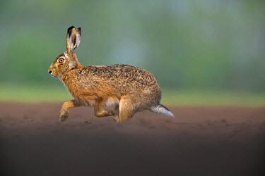 NIS2262 European Hare (Lepus europaeus) running in arable field, Netherlands, Noord-Brabant