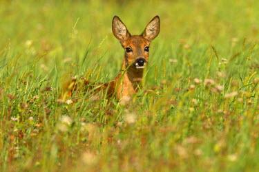NIS2880 Roe Deer (Capreolus capreolus) standing in a meadow, Netherlands, Noord-Holland, Bussum, Bussummerheide