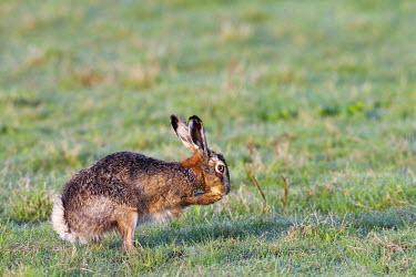 NIS38944 European Hare (Lepus europaeus) washing, Netherlands, Noord-Holland, Zeevang