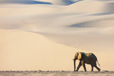 NIS52195 A solitary desert-adapted African Elephant (Loxodonta africana) bull walks through a dry river valley flanked by sand dunes, Namibia, Skeleton Coast