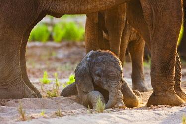 NIS52254 A desert-dwelling African Bush Elephant (Loxodonta africana) calf laying down beneath its mother's belly, Namibia, Kaokoland, Skeleton Coast