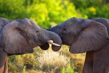 NIS52269 Two desert-adapted African Bush Elephants (Loxodonta africana) playing, Namibia, Kaokoland, Skeleton Coast