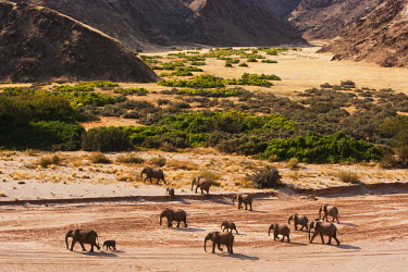 NIS52270 Desert-adapted African Bush Elephants (Loxodonta africana) walking through a canyon, Namibia, Kaokoland, Skeleton Coast