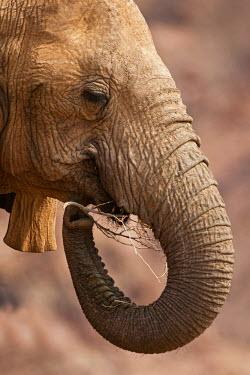 NIS52284 Desert-dwelling African Bush Elephant (Loxodonta africana) chewing on a branch of unidentified tree, Namibia, Kaokoland, Skeleton Coast