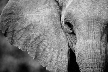 NIS52349 Portrait of a desert-adapted African Bush Elephant (Loxodonta africana) in black and white, Namibia, Kaokoland, Skeleton Coast