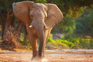 NIS52358 A charging desert-adapted African Bush Elephant (Loxodonta africana) in musth, Namibia, Kaokoland, Skeleton Coast