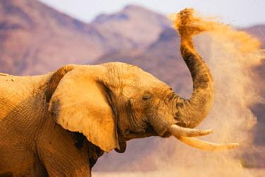 NIS52406 A desert-dwelling African Bush Elephant (Loxodonta africana) dusting in the morning sunlight, Namibia, Kaokoland, Skeleton Coast