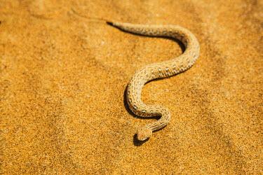 NIS52412 A Peringuey's Sidewinding Adder (Bitis peringueyi) moves sideways over the desert sand, Namibia, Kaokoland, Skeleton Coast