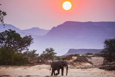 NIS52420 A desert-adapted African Bush Elephant (Loxodonta africana) walking under a setting sun, Namibia, Kaokoland, Skeleton Coast