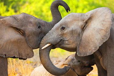 NIS52486 Two desert-dwelling African Bush Elephants (Loxodonta africana) playing, Namibia, Kaokoland, Skeleton Coast