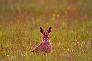 NIS5270 European Hare (Lepus europaeus) in the evening light, looking towards the camera, The Netherlands, Noord-Holland, Zeevang
