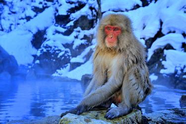 NIS58675 Japanese macaque (Macaca fuscata) sitting beside Hotspring, Japan, Honshu, Nagano, Jugokudani
