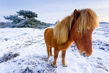 NIS60513 Icelandic Horse (Equus ferus caballus) standing in snow, The Netherlands, Noord-Brabant, Kranenveld