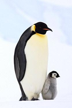 NIS146199 Emperor Penguin (Aptenodytes forsteri) with young, Antarctica, Antarctica