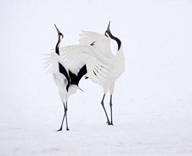 NIS139905 Red-crowned Crane (Grus japonensis) pair courting in the snow, Hoikkado, Japan, Japan