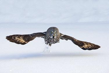 NIS139946 Great Gray Owl (Strix nebulosa) hunting, Finland, Finland