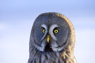 NIS139947 Great Gray Owl (Strix nebulosa), Finland, Finland