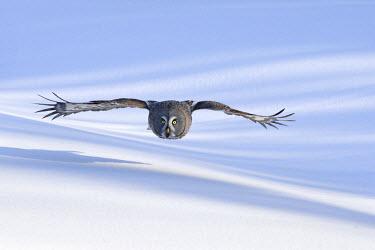 NIS139951 Great Gray Owl (Strix nebulosa) flying, Finland, Finland