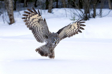 NIS139957 Great Gray Owl (Strix nebulosa) hunting, Finland, Finland