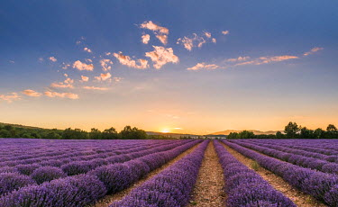NIS183167 Sun rises over a field full Lavender (Lavandula angustifolia) in the Provence, France, France, Provence, Vaucluse
