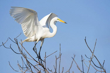 NIS193244 Great White Egret (Egretta alba) landing in the mangroves against a blue sky, The Gambia, Cape Point