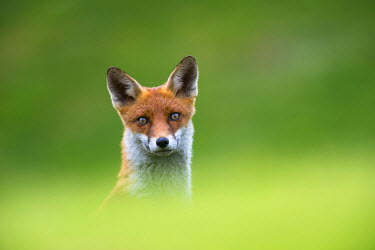 NIS224103 Red Fox (Vulpes vulpes) portrait, England, Sussex, Ashdown Forest