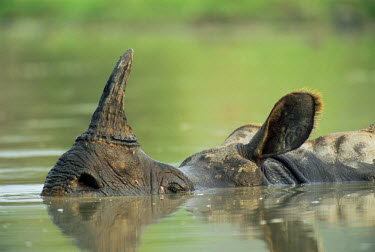 NIS224237 Indian Rhinoceros (Rhinoceros unicornis) wallowing, India, Assam, Kaziranga National Park