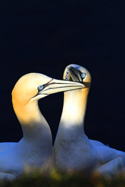 NIS79152 Northern Gannet (Morus bassanus) couple displaying courtship ritual, Germany, Helgoland